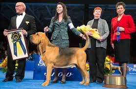 nathan the bloodhound wins best in show at the national show 2014
