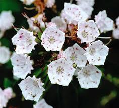 kalmia latifolia kalmia latifolia ericaceae image 22685 at phytoimages siu edu