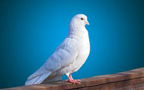 bird wallpapers white pigeon bird wallpaper