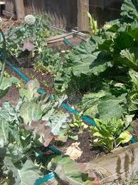 roll out vegetable garden veggie garden soaker hose irrigation 5 steps