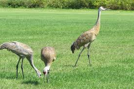 sandhill crane colt growing up friends of the lakeshore nature
