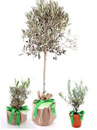 olive trees for sale choose your olive tree plant now