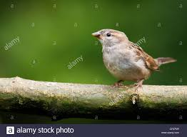 Hous by Female Hous Sparrow On Branch Stock Photo Royalty Free Image