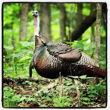 Backyard Turkeys 191 Best Turkey Hunting Images On Pinterest Turkey Hunting Wild