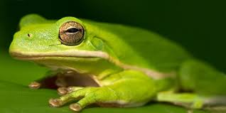 green tree frog reptiles animals