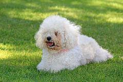 bichon frise fluffy bichon frise fluffy white dog stock photo image 62158642