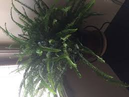 how to grow fern indoors 11 steps with pictures wikihow