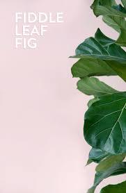 Fiddle Leaf Fig Tree Care by D E S I G N L O V E F E S T House Plants 101