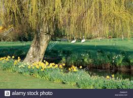 daffodils growing below a willow tree on the bank of a small