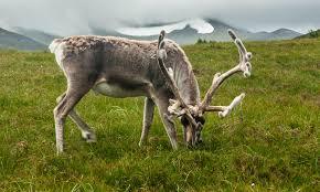 reindeer diet reindeer diet howstuffworks