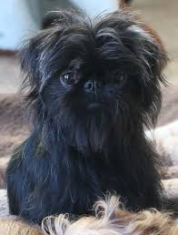 affenpinscher a donner they may have been crossed with pugs smoothcoated german