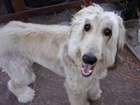 afghan hounds for adoption north carolina afghan hound rescue groups