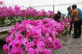 Flowers For Sale Gardeners Plant Ornamental Flowers For Chinese Lunar New Year