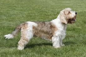 bluetick coonhound basset hound mix types of hound dogs