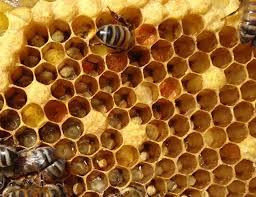long beach beekeepers bee anatomy at the bee club meeting 2 3