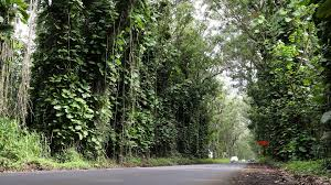 forest road on kauai hawaii usa road with eucalyptus trees in