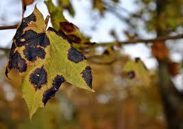 free photo tar stain disease maple tree free image on pixabay