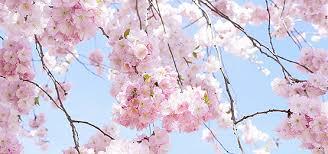 japanese cherry tree background japanese style cherry
