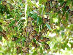 monarchs food chain mystery feed in pecan trees
