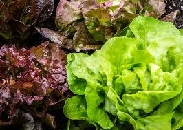 grow salad greens indoors all winter long under inexpensive shop