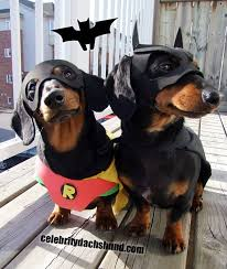 Halloween Costumes Miniature Dachshunds 25 Batman Dog Costume Ideas Bat Dog
