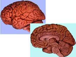 Gross Brain Anatomy Brain Practical