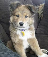 incrocio border collie x australian shepherd here u0027s luna the german shepard mix she was a rescue dog from