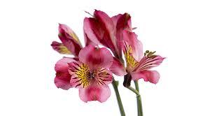 alstroemeria flower floral design institute alstroemeria alstroemeria alstro