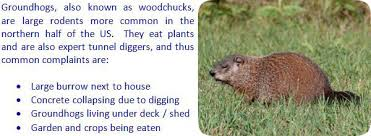 How To Get Rid Of A Skunk In Your Backyard How To Get Rid Of Groundhogs Woodchucks In Garden Or Yard