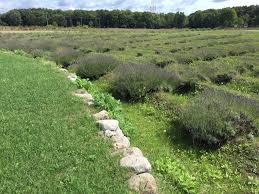 When Is Lavender In Season In Michigan by Labyrinth Of Lavender In Shelby Fox17