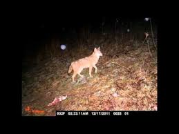 Can Coyotes See Red Light Night Vision Infrared Lights Baiting Setup Vance Video