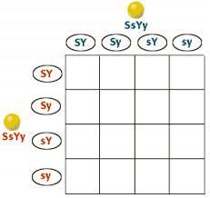 Dihybrid Cross Punnett Square Worksheet Dihybrid Cross