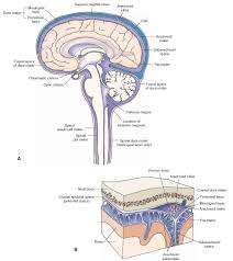 Which Part Of The Brain Consists Of Two Hemispheres Meninges And Cerebrospinal Fluid Gross Anatomy Of The Brain Part 1