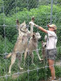 Pennsylvania wildlife tours images This little known wolf sanctuary in pennsylvania is a hidden gem jpg