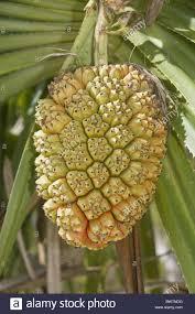 edible fruits screwpine fruit stock photos screwpine fruit stock images alamy