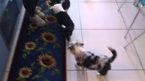 australian shepherd 3 mesi giochi cuccioli australian shepherd youtube