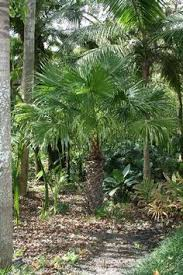 oyster plant a pygmy date palm low