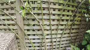 re tying a climbing rose to a trellis fence part 1 youtube
