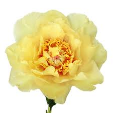 yellow peonies peonies flower november delivery