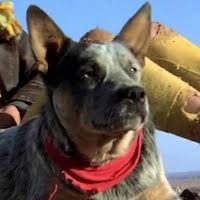 movies with australian shepherds in them australian cattle dog movies reel dogs
