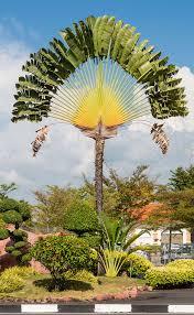 Decorative Trees In India Ravenala Wikipedia