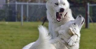 australian shepherd overprotective fixing jealous over protective and possessive behaviour
