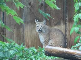 North Carolina how to travel with a cat images Bobcat picture of western north carolina nature center jpg