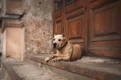 american eskimo dog vector vector american eskimo dog breed lying stock photo image 25416530