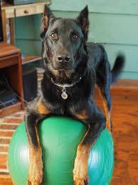 australian shepherd zucht bayern cupidon exercising beauceron dog beauceron cupidon