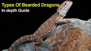 types bearded dragons depth guide