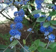 Memecylon Umbellatum Small Trees Shrub And Blue Garden