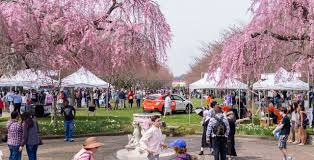 Cherry Blossom Tree Facts by The Annual Subaru Cherry Blossom Festival Welcomes Spring In