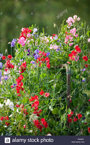 garden gate flowers sweet pea vines with various coloured flowers growing over a