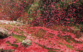 flower pic 8 million flower petals rain down on a village in costa rica